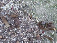 芍薬2009.1.jpg