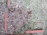 芍薬2009.2.jpg